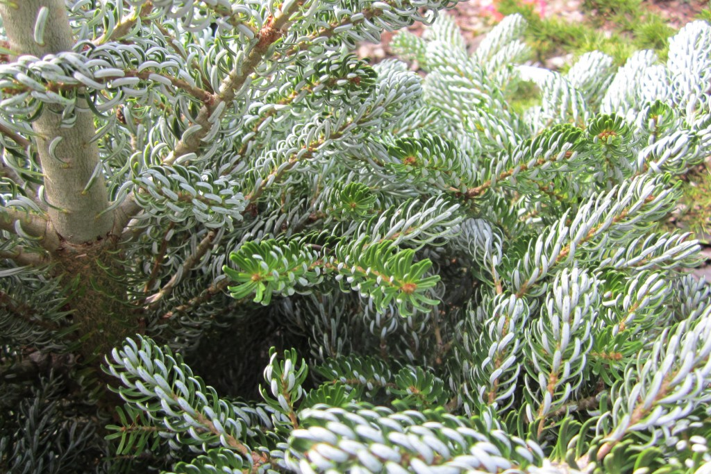 Amazing contrast on the Abies koreana 'Ice Breaker'